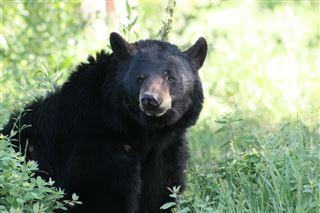 Black bear that once roamed St. Joseph, LaPorte counties captured and euthanized in Michigan  – 95.3 MNC News