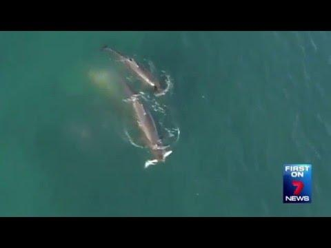 You Won't Believe What This Drone Recorded Whales Doing – Video