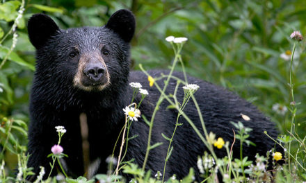 Expert: Black bear sightings in Indiana likely to become more common  – 95.3 MNC News