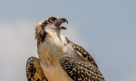 4 osprey chicks fitted with GPS units to track movements  – 95.3 MNC News