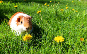 Third lacrosse team member charged in guinea pig's death  – 95.3 MNC News