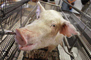 8 people ill after exposure to sick pigs at Cass County and other Michigan fairs  – 95.3 MNC News