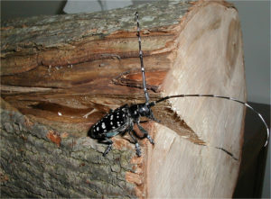 Indiana residents urged to check trees for Asian beetle  – 95.3 MNC News
