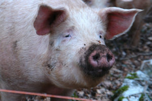 Pigs on the loose in Allegan County after truck crashes on foggy road  – 95.3 MNC News