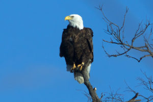 Indiana may be home to one of the oldest bald eagles in the U.S.  – 95.3 MNC News