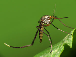 Mosquitoes could be a bigger problem than usual this spring  – 95.3 MNC News