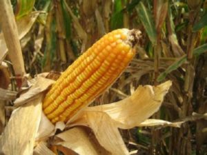 Indiana corn farmers lagging behind on planting due to rain  – 95.3 MNC News